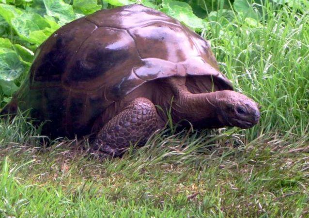 Najstarszy żółw na świecie, Jonathan