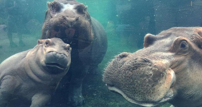 Hipopotam Fiona była głównym świadkiem romantycznych zaręczyn Hayley i Nicka z Cincinnati