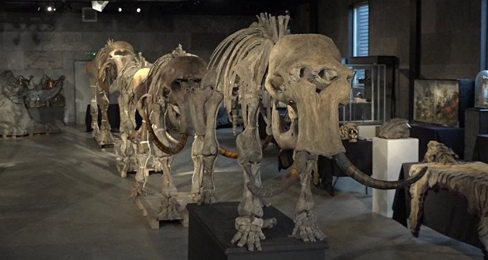 Kolekcja szkieletów prehistorycznych mamutów