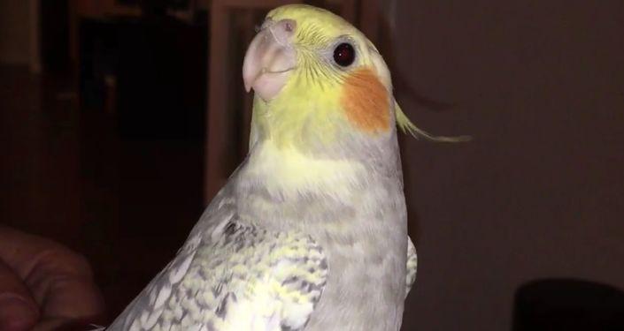 Zasmucona papużka naśladuje dźwięk iPhone'a