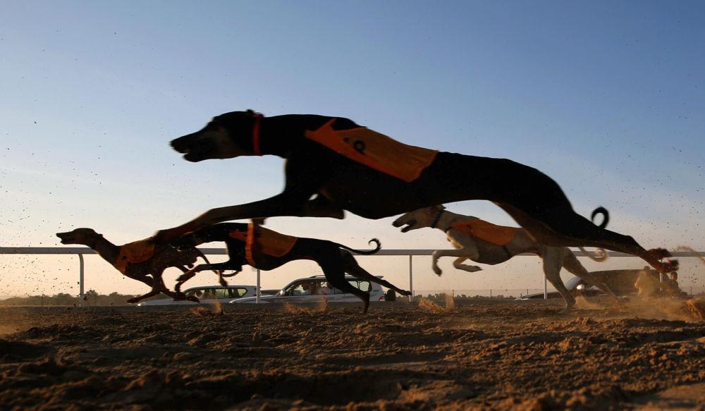 Wyścigi arabskich psów na festiwalu Al Dafra w ZEA