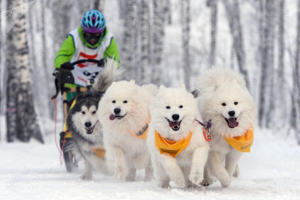 W turnieju udział wzięły dziesiątki sportowców i około stu psów różnych ras z miast Syberii.