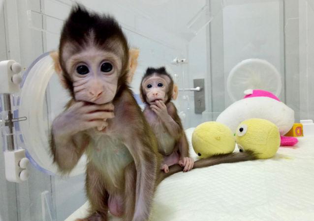 Sklonowane makaki