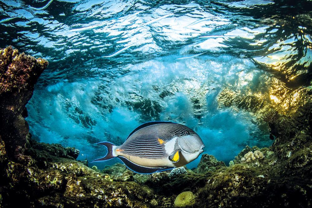 Zwycięzcą konkursu w kategorii Ekspozycja podwodna została praca Słodowy chirurg fotografa z Wielkiej Brytanii Saeeda Rashida.