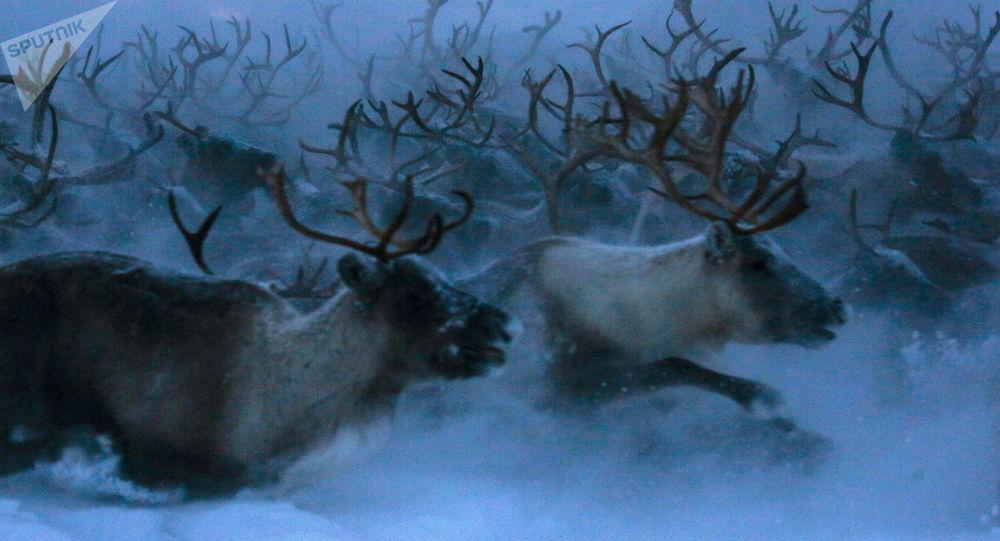 Renifery Tundra w obwodzie murmańskim