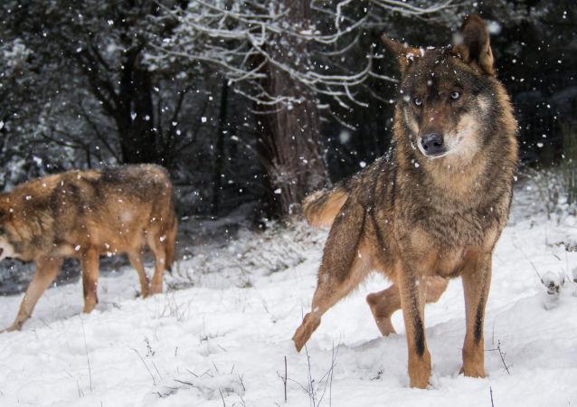 Wilki w lesie zimą