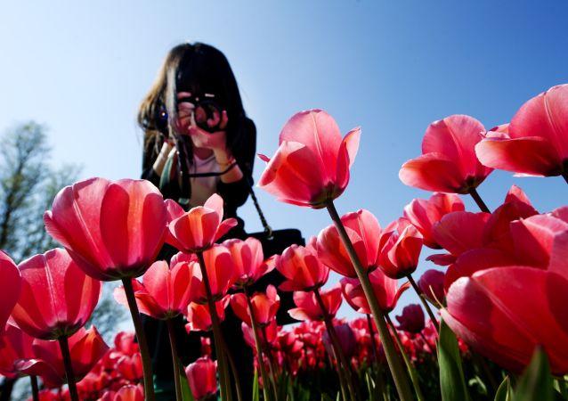 Pole tulipanów w Holandii