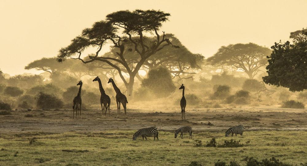 Zebry i żyrafy w Kenii
