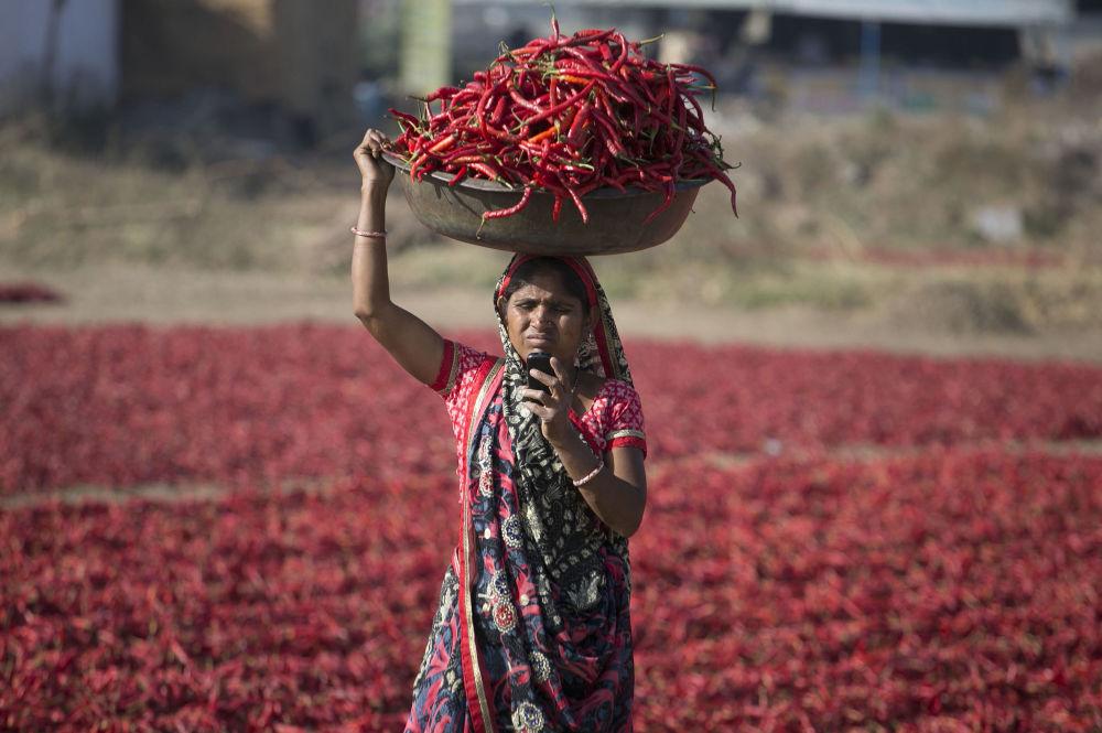 Zbiór papryki czerwonej w Indiach