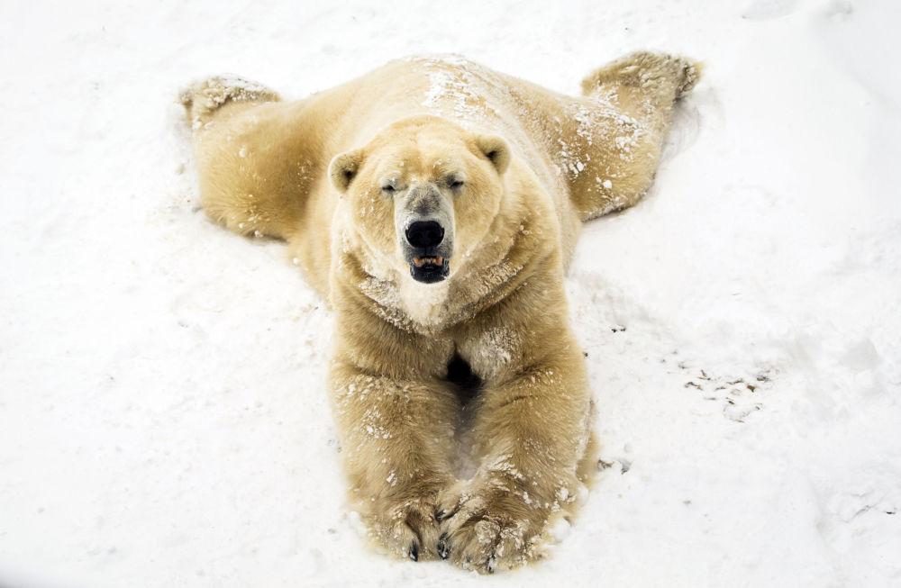 Biały niedźwiedź na śniegu w parku w Doncaster