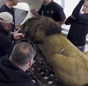 Lew w tomografie