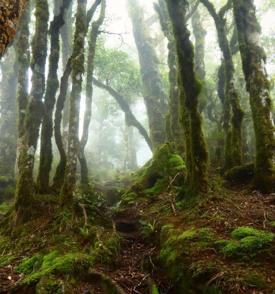 Las w Nowej Zelandii