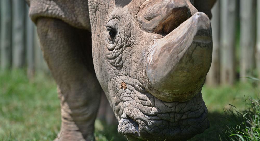 Ostatni samiec białego nosorożca północnego