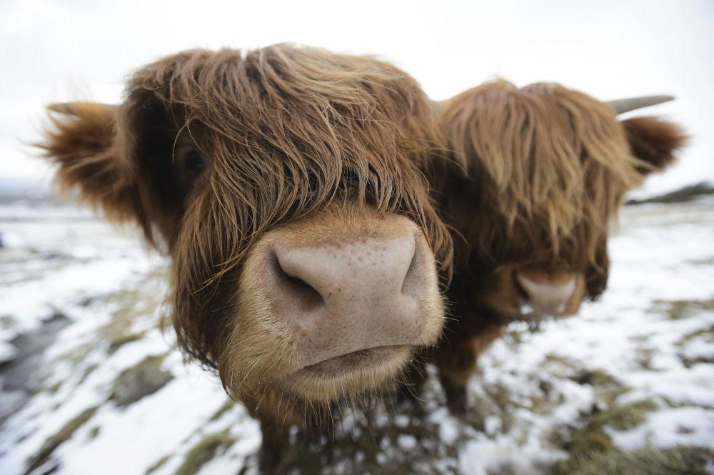Szkockie krowy wysokogórskie pasą się na Kilpatrick Hills niedaleko Glasgow