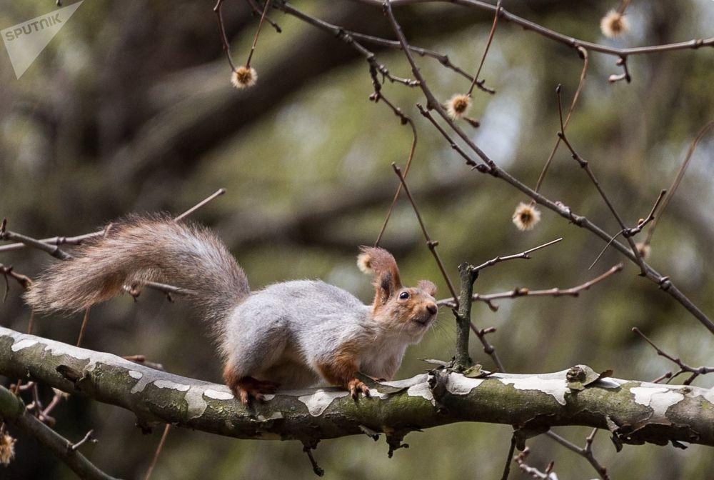 Wiewiórka na drzewie w Symferopolu