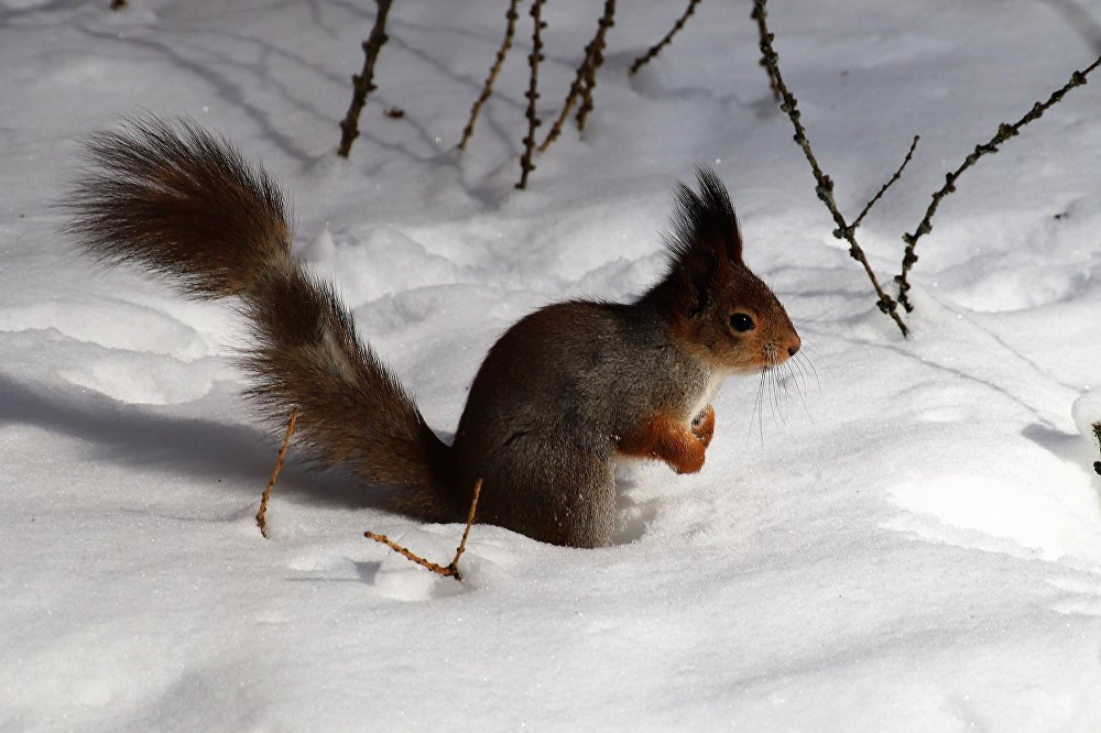 Melancholijna moskiewska wiewiórka