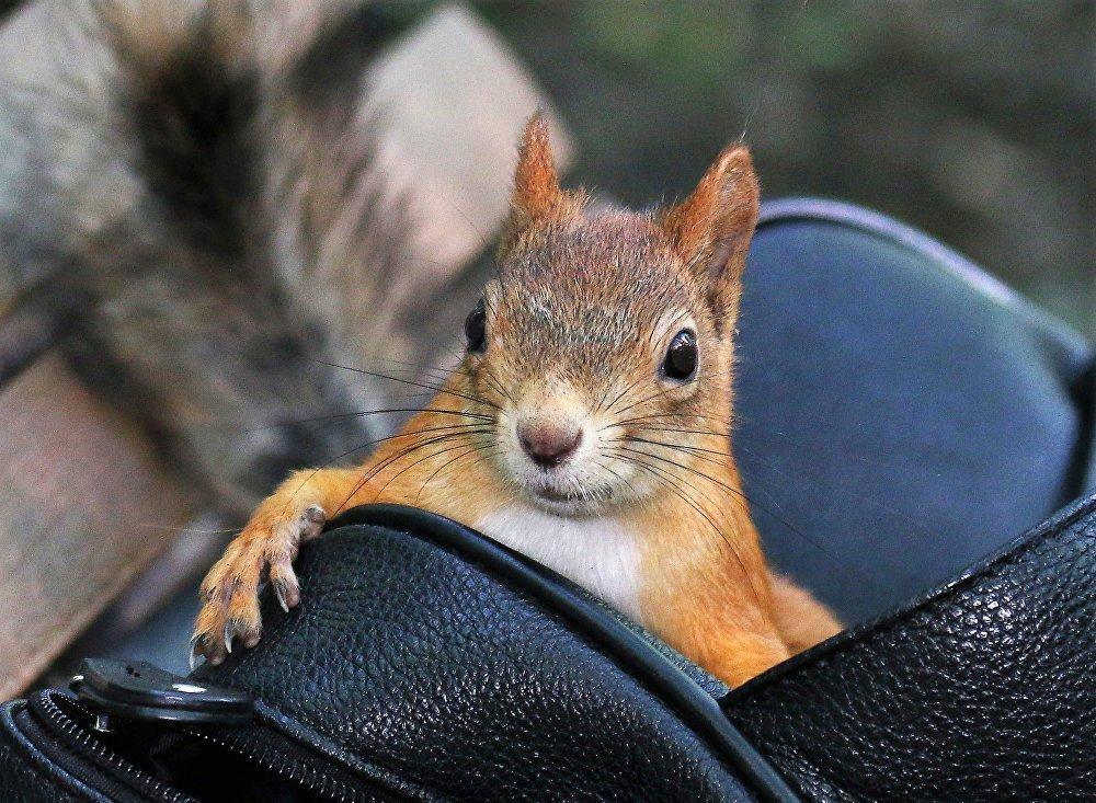 Pilnujcie swoich torebek Drogie Panie! Wiewiórka grasuje