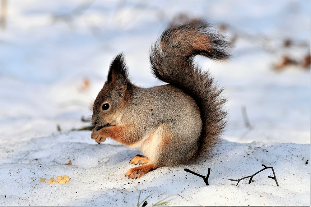 Śnieg zaczyna się topić i ze swoich norek zaczynają wychodzić wiewiórki