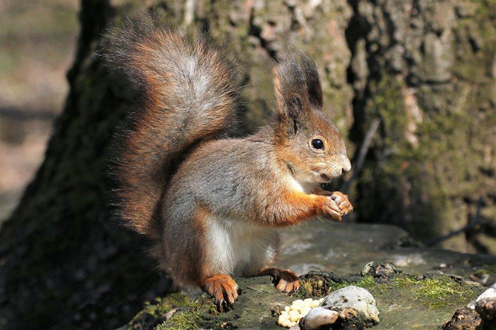 Wiewiórka w wiosennej odsłonie, ale futerko jeszcze zimowe