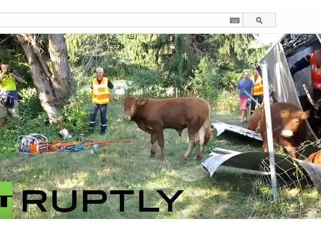 Z powodu wypadku we francuskich Alpach zginęły krowy
