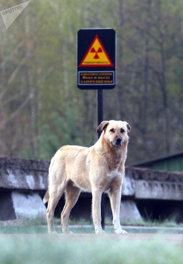 Pies w strefie zamkniętej elektrowni jądrowej w Czarnobylu