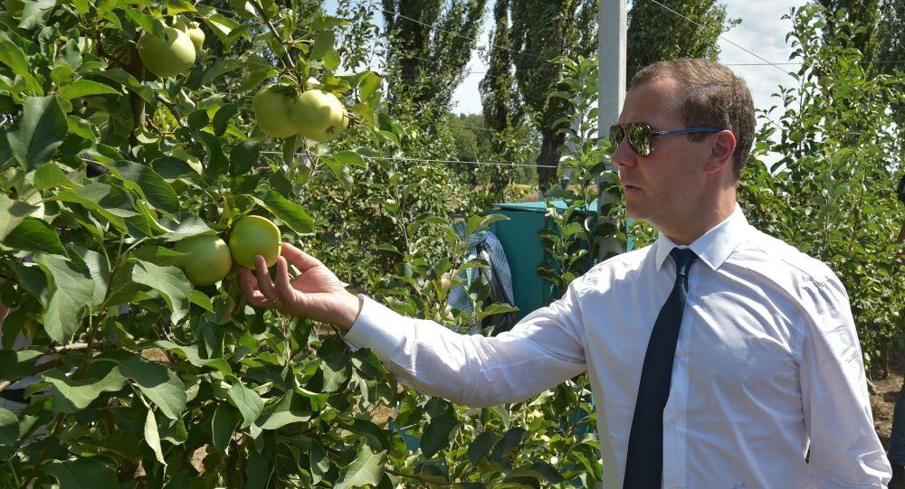 Szef rządu FR Dmitrij Miedwiediew w jabłoniowym ogrodzie