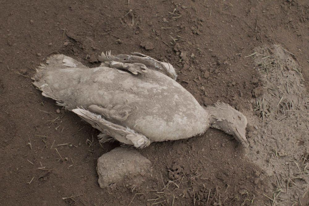 Pokryte popiołem zwłoki kaczki po erupcji wulkanu w Gwatemali