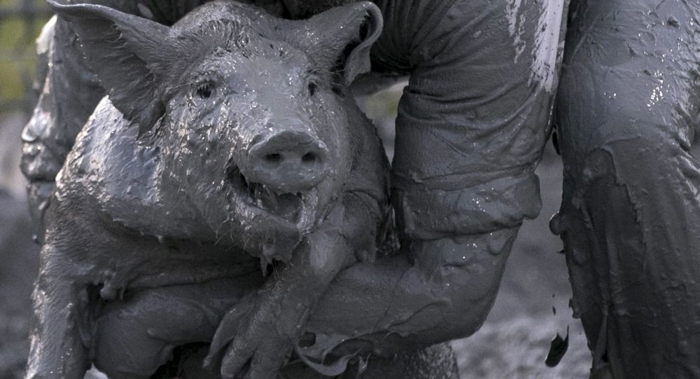Uczestnicy konkursu brudnego prosiaka w Kanadzie