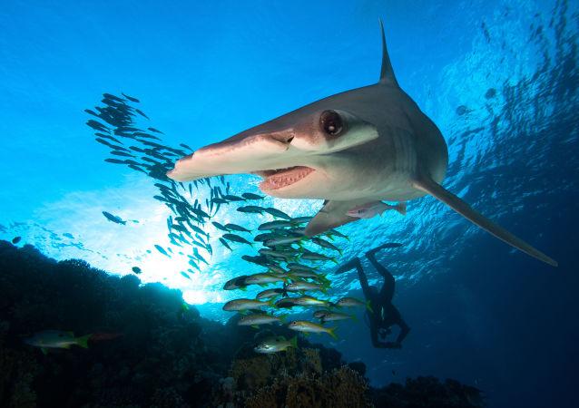 Ryba-młot