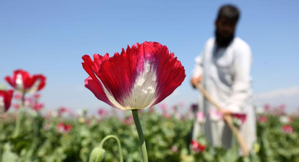 Rolnik pracuje na polu makowym polu w Afganistanie