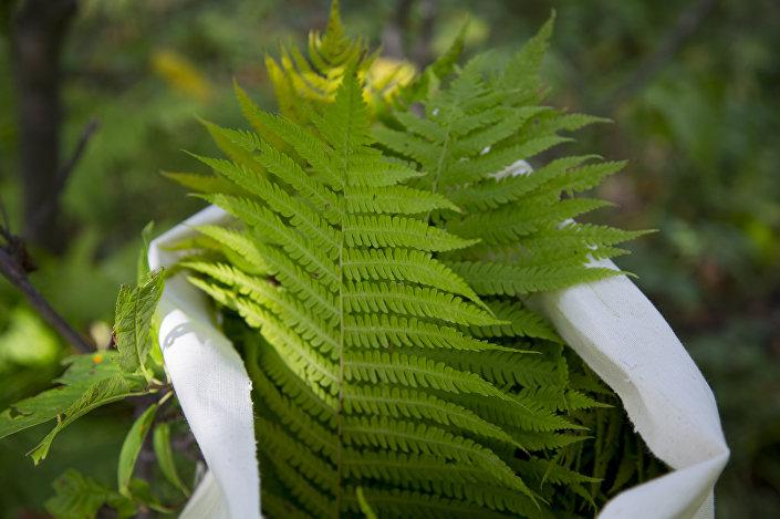 Zbiór dziko rosnących roślin. Chakasja