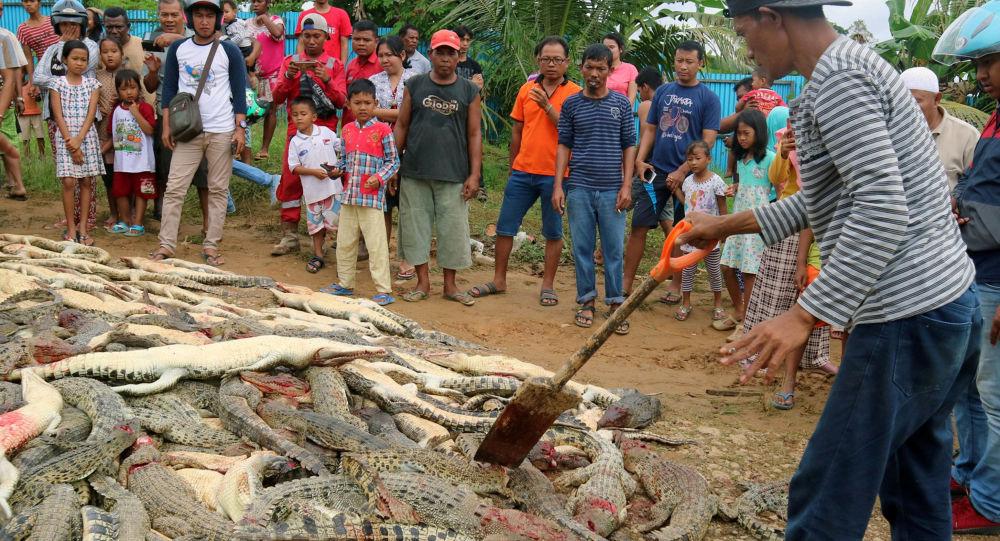 W Indonezji krewni  zabitego przez krokodyla w zemście zabili 300 gadów