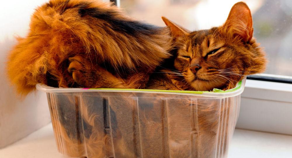 Kot somalijski w pudełku