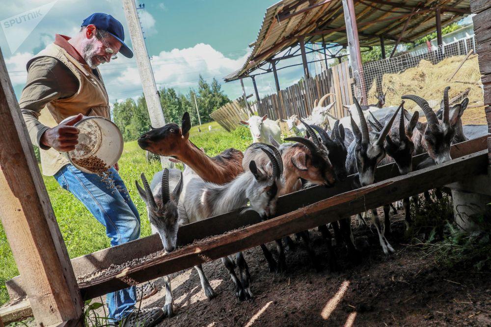 Amerykański farmer Jay Robert Close karmi kozy na własnej farmie we wsi Mosznicy pod Moskwą