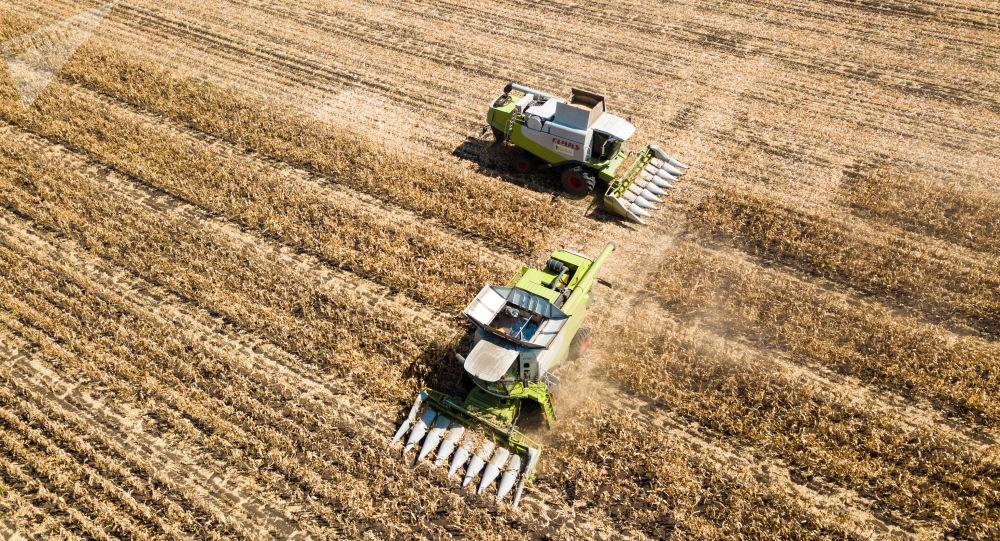 Zbiory kukurydzy ziarnowej w Kraju Krasnodarskim