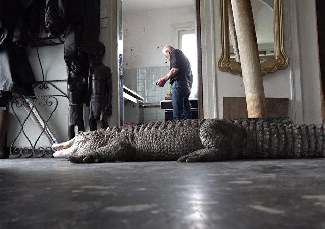 Te ogromne aligatory są zwierzętami domowymi