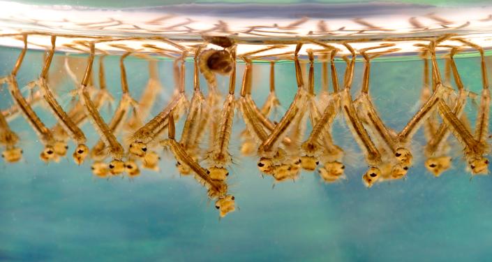 Larwy komara transmitującego gorączkę Zachodniego Nilu