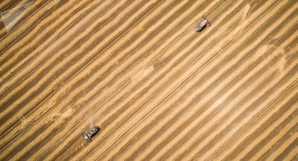 Sprzęt podczas żniwy pszenicy w Kraju Krasnodarskim