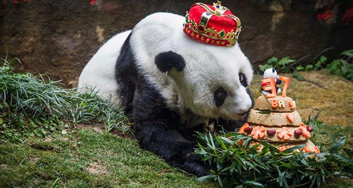 Panda z tortem urodzinowym