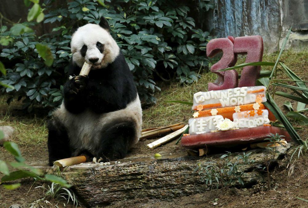 Gigantyczna panda je ciasto, przygotowane na jej 37-lecie w Ocean Parku w Hongkongu