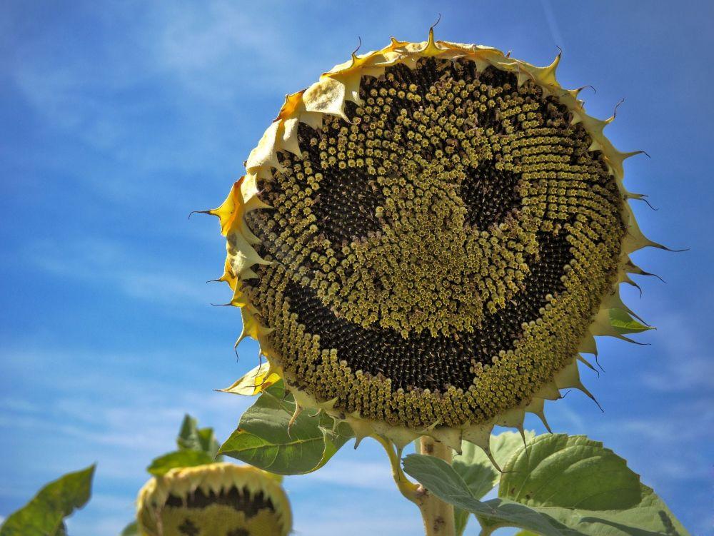 Uśmiechający się słonecznik