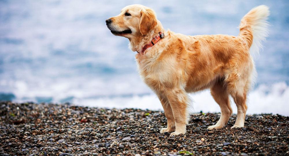 Golden Retriever na plaży