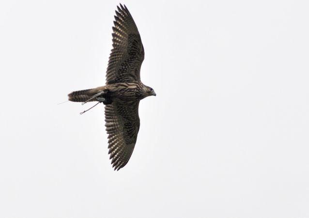 Sokół na zawodach Zlot sokolników - 2017 w rezerwacie Galicza Góra w obwodzie lipieckim