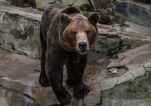 Niedźwiedź brunatny w kaliningradzkim zoo