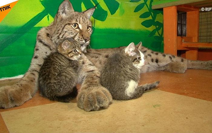 Rysica wychowuje kotki