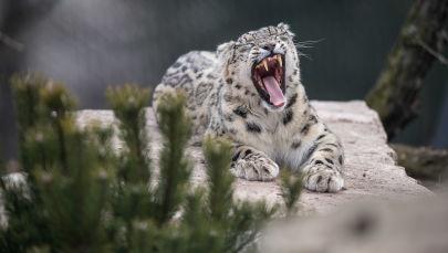 Pantera śnieżna w ogrodzie zoologicznym w Niemczech