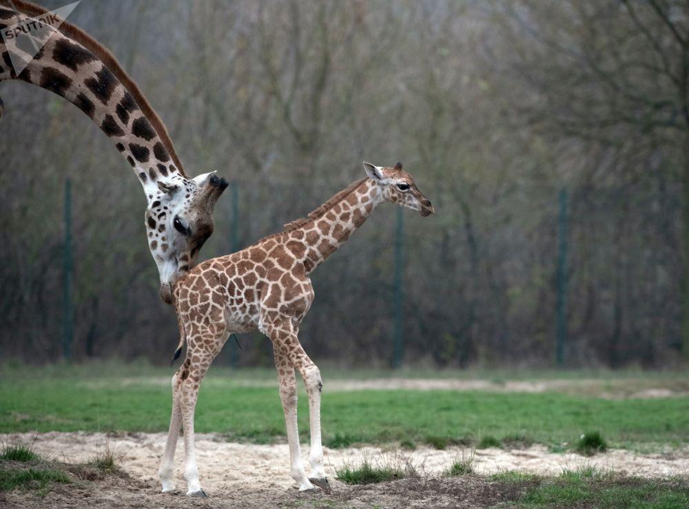 Nowonarodzona żyrafa z matką w berlińskim zoo