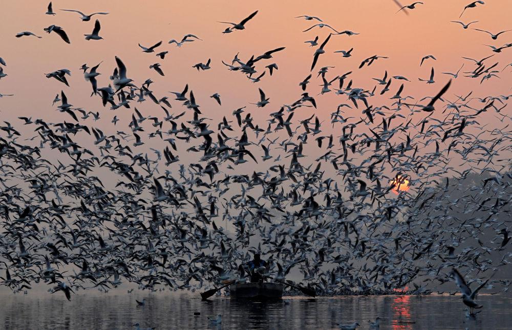 Stado mew nad rybakiem na rzece Jamuna w Indiach