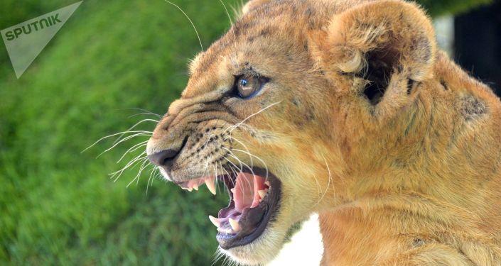 Lwica w krymskim safari parku
