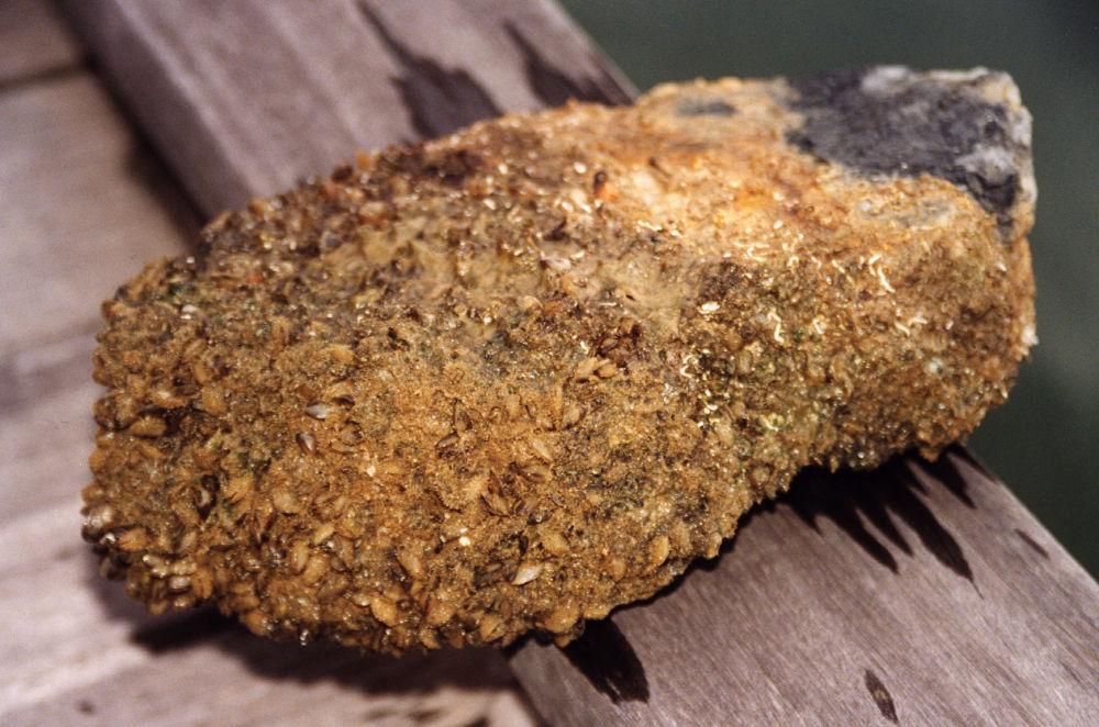 Mytilopsis sallei